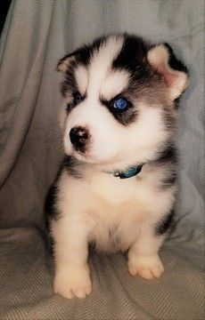 Siberian Husky puppy for sale in BATTLE CREEK, MI. ADN-42924 on PuppyFinder.com Gender: Male. Age: 7 Weeks Old