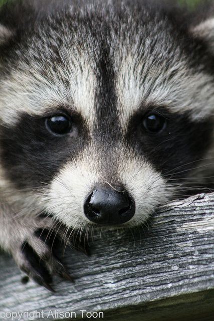 Baby raccoon. had one of these little guys in our tree today =)