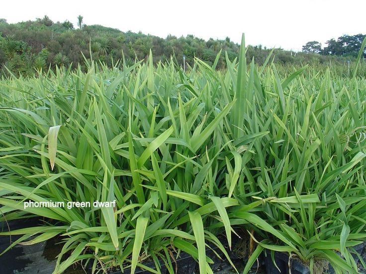 green dwarf flax