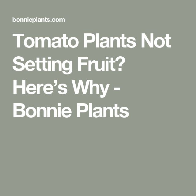 Tomato Plants Not Setting Fruit Here's Why Bonnie 400 x 300