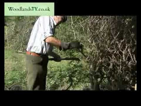 Hedge Laying with bill hook - south of England style. We want to do an Osage Orange (aka Horse Apple, aka HEDGE Apple) hedge. Grows fast from a slurry can reportedly pen animals by one year.