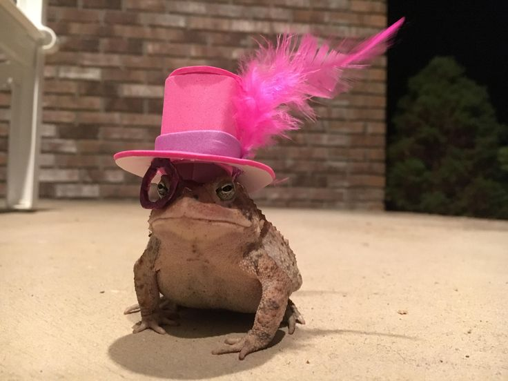 Creative Man Makes Amusing Hats for a Toad Who Visits His Porch on a Daily Basis