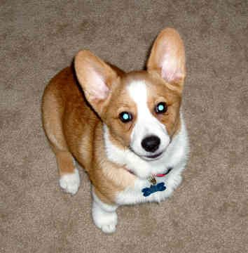 Pembroke Welsh Corgi Rescue | Pembroke Welsh Corgis - Dogs - Haley