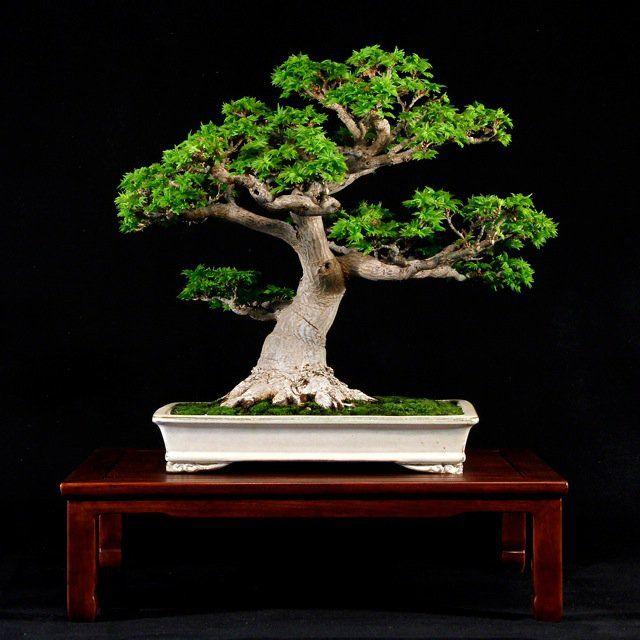 A shishigashira japanese maple by william n valavanis for Famous bonsai trees