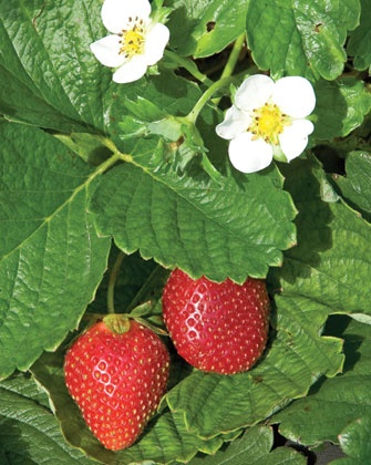 In front of our house, early in the summer, we had lots of strawberries.