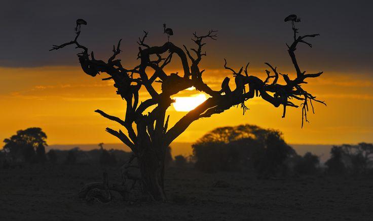 Венценосный рассвет #рассвет #амбосели #африка #саванна #венценосный #журавль #дикие #птицы Автор: Николай Зиновьев