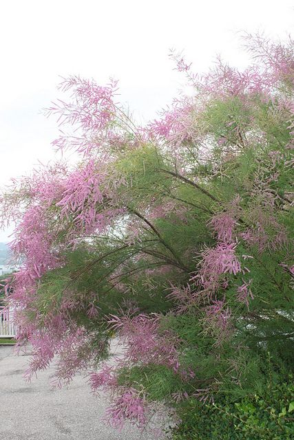 Tamarisk, in Nancy, North France  I've been here, ready to go again.