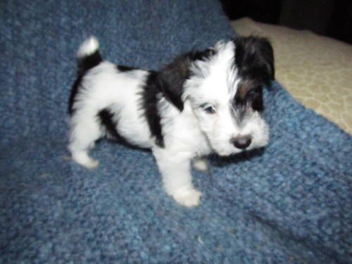 I can't wait to get my pup Astro! I'm so excited. He'll look something like this little guy.