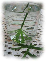 La bouture de papyrus dans son pot rempli d'eau