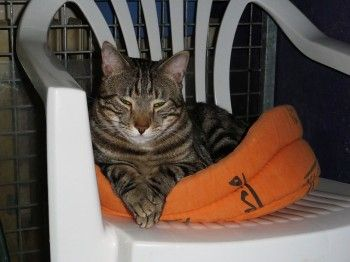 Gino, jeune chat énergique et plein de vie, recueilli dans la rue par notre association, a fait une mauvaise chute entraînant une fracture du col du fémur. Une opération est possible mais il faut la pratiquer d'une manière urgente pour qu'il puisse retrouver l'usage complet de sa patte arrière droite et qu'il n'en garde pas de séquelle.