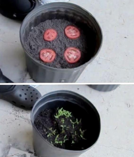 Para cultivar tomate planta algunas rodajas de éste en composta y en pocos días…