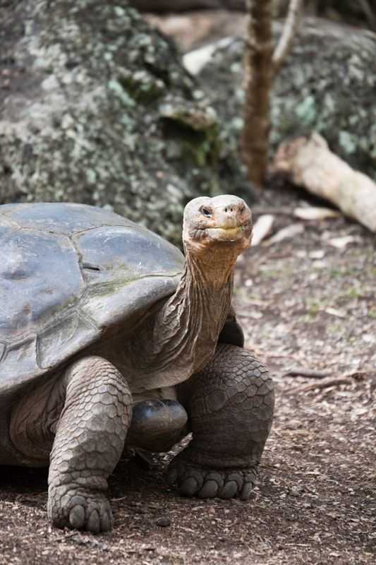 #Galapagos #tortoise #pictures