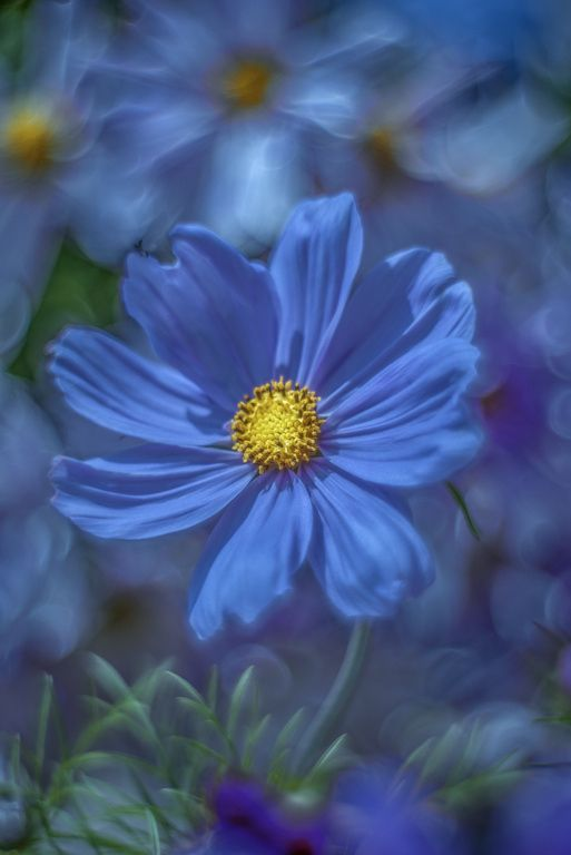 17 Best Ideas About Cosmos Flowers On Pinterest Cosmos