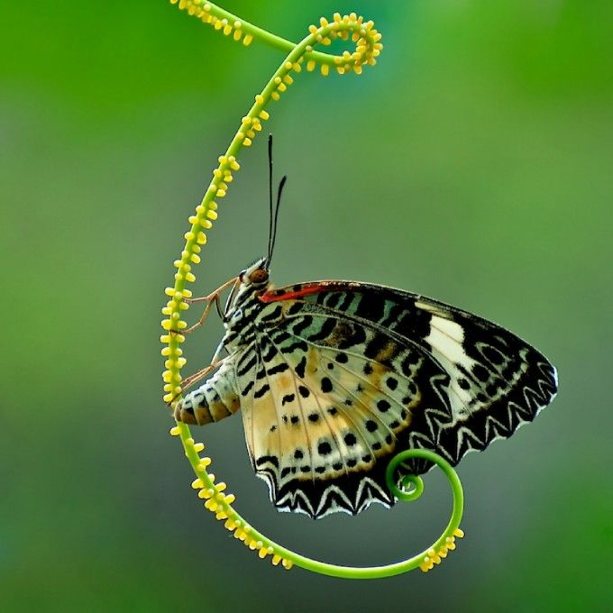 cool...: Beautiful Butterflies, Eggs, Colors Mixed, Butterflies, Curls, Butterflies Photography, Insects, Digital Photography, Natural