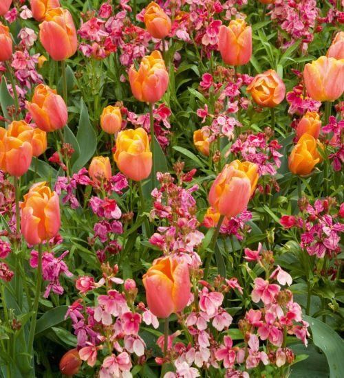 10 best planting combinations images on pinterest crows crows tulip annie schilder wallflower mightylinksfo