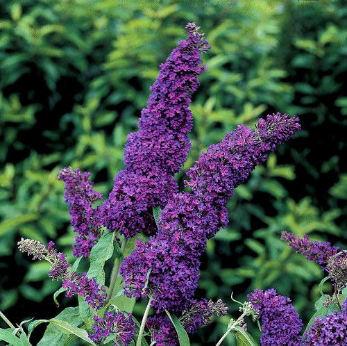 Buddleia 'Buzz Midnight' (Dwarf Butterfly bush). Fragrant, full-sized flowers on compact light green bushes just 1/3 the usual height. Eight-plus years of British breeding produced these long-blooming