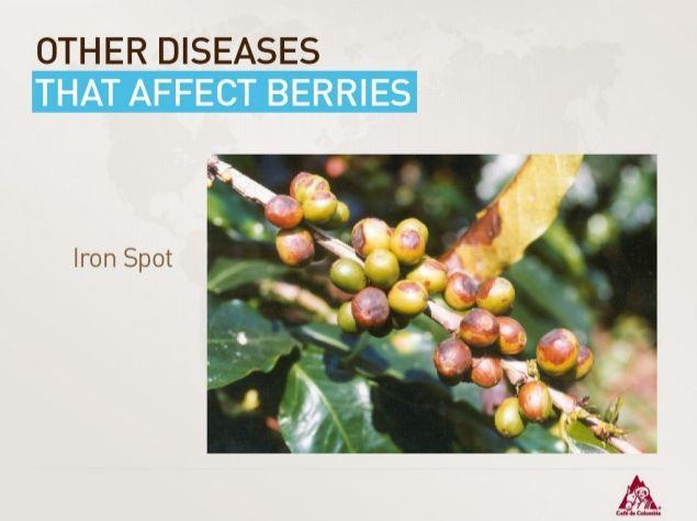 """Coffee Disease """"Iron Spot"""""""