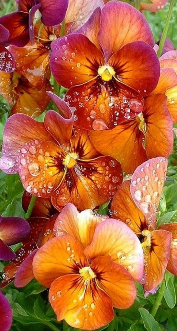 A beautiful array of vibrant orange Pansies!