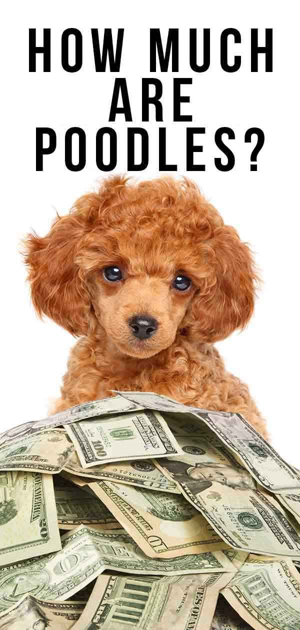 How Much Are Poodles? Your Guide To The Cost Of This