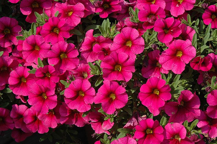 17 best images about million bells calibrachoa on pinterest cherries scarlet and deadheading. Black Bedroom Furniture Sets. Home Design Ideas