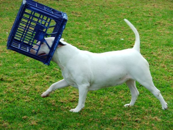 Airline pet carrier english bull terriers. #dogpics #dogs #dog #dogsoftwitter #fun #doglovers #puppy