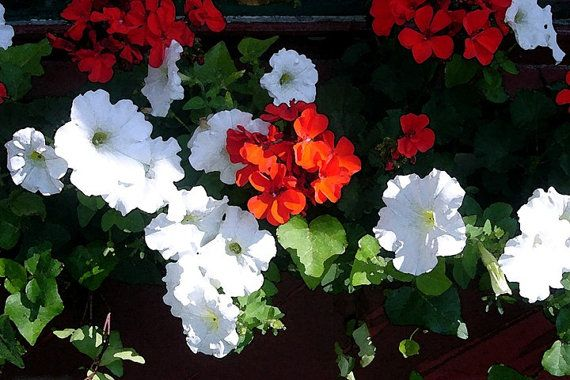 White Petunias And Red Geraniums Watercolor By