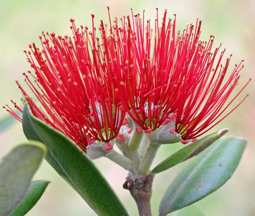 Pohutukawa bloom by Helen M Evans, via Flickr