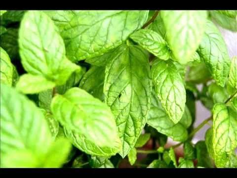 Hierbabuena planta medicinal. Propiedades y beneficios de la hierba buena. - YouTube