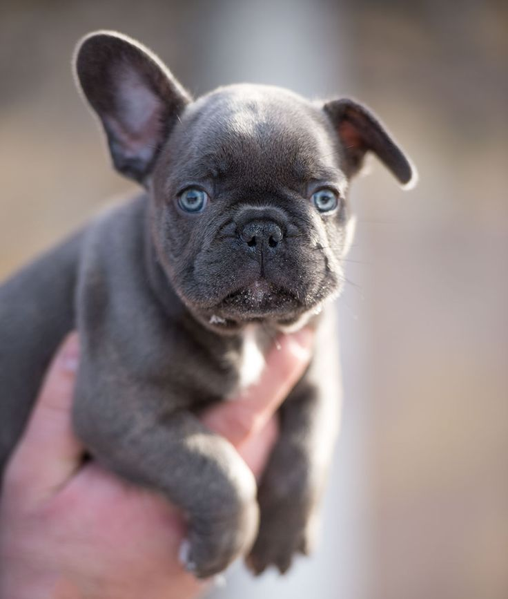 Blue french bulldog pups for sale. Available to the very