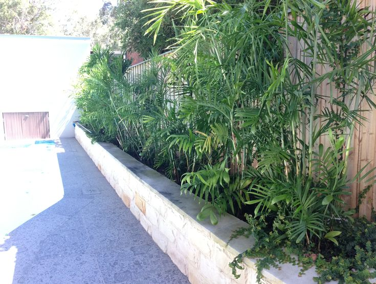 Bamboo palms underplanted with ficus pumila to cover fence add lushness to pool area.