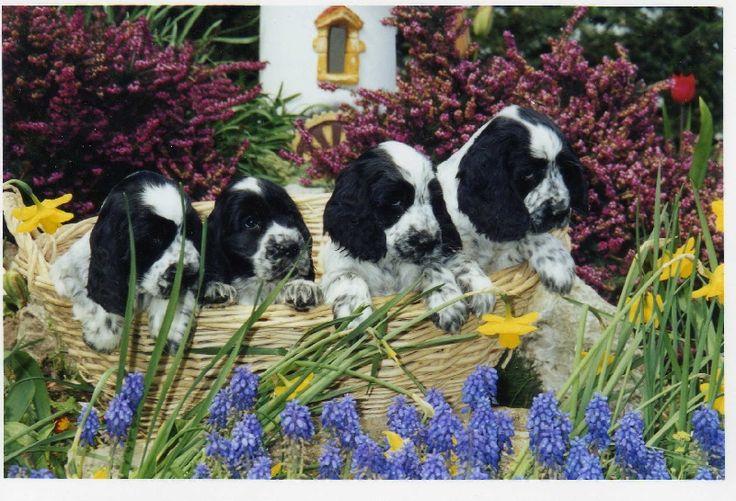 des aubépines de la Vilco - 4 chiots de couleur bleue rouan