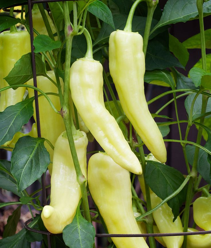 Sweet Banana Pepper Named for its banana-like shape, this variety bears sweet, mild peppers that mature from yellow, to orange, and then to crimson red. Plants fruit prolifically, easily producing up to 25 to 30 pods per plant. This pepper is great for frying, pickling, and is an excellent choice to make pepper rings for sandwiches. Great for containers. Banana pepper plant that produce large quantities of sweet, mild peppers.