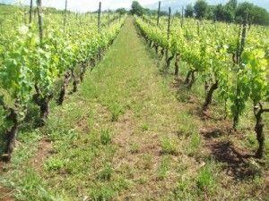 """""""Chi beve #Barbera ha la mente sincera"""" #Piemonte #vino  http://www.mole24.it/2013/10/04/il-vino-sincero-la-barbera/"""