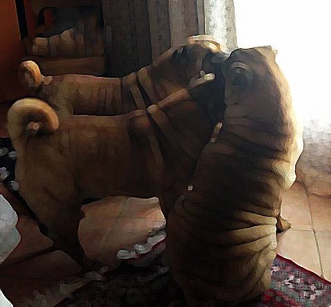 Shar-pei Of The Crease Of Wisdom