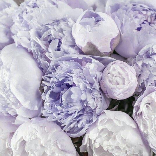 фиолетовые пионы картинки любимых приятные