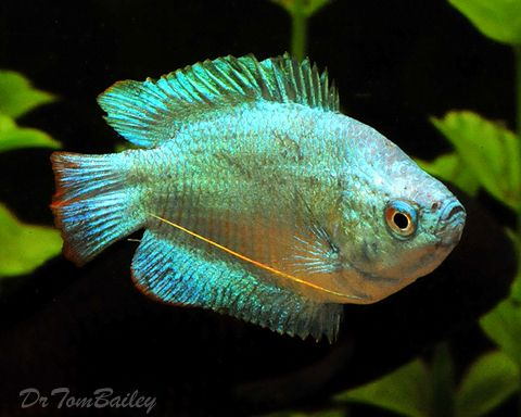 1000 images about freshwater tropical fish gourami on for Blue freshwater fish