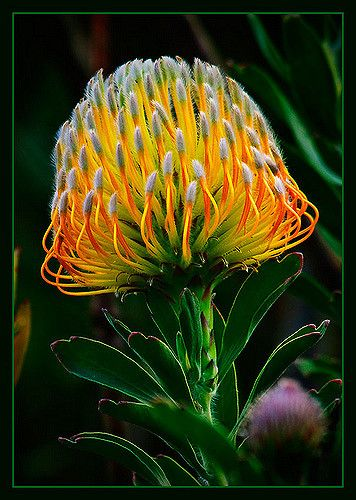 Pincushion proteas, to me, resemble varicoloured sea urchins or the burst of fireworks on New Year's eve (others we shot).  They range in colour from pink to orange and gold.  This South African plant has adapted well to the cool and dry higher elevations of Hawaii where one bush can produce over 1,000 flower heads in a season.  Please click here to view large on black.