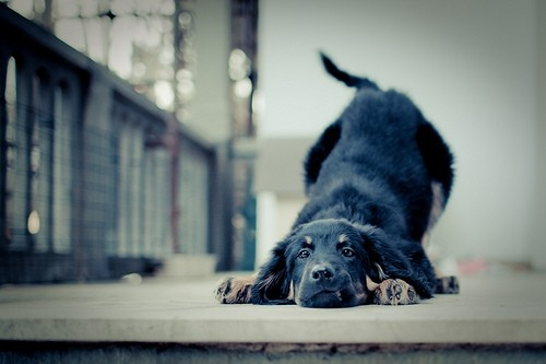 He is so cutePuppies, Funny Dogs, Old Dogs, Yoga Poses, Bows, Plays, Yoga Mats, New Dogs, Black Labs