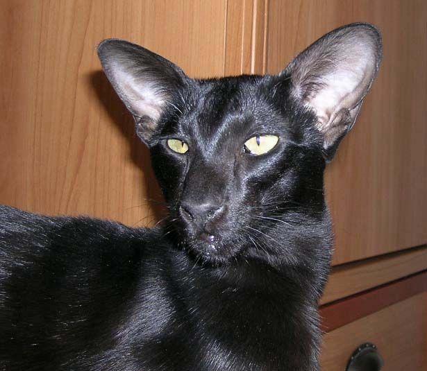 JUNGLE питомник: ориентальные и сиамские кошки - ориенталы и сиамы.