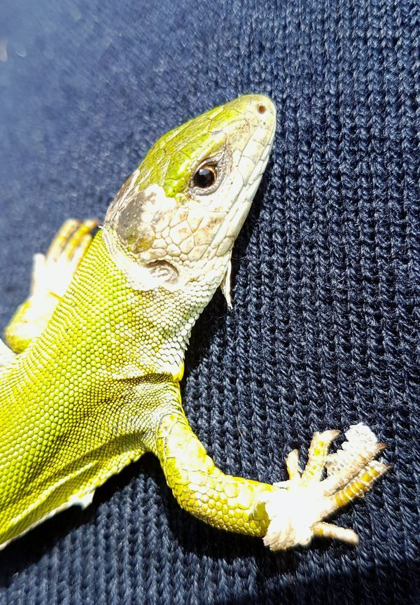 Animals In The Wild One Animal Reptile Animal Themes Animal Wildlife High Angle View Yellow Iguana Outdoors Close-up No People Day Nature Green Color Reptile Lizard EyeEmNewHere
