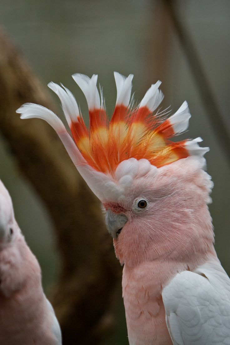 Cockatoo, Australia: Major Mitchell, Parrots, Color, Pale Pink, Pink Cockatoo, Beautiful Birds, Mitchell Cockatoo, Photo, Feathers Friends