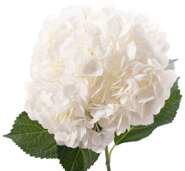 Hydrangea Premium White Hydrangea Flower Wedding Flowers Hydrangea White Hydrangea