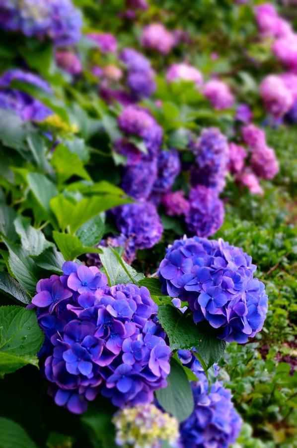 Top 25 best purple hydrangeas ideas on pinterest pink - Plants with blue flowers a splash of colors in the garden ...