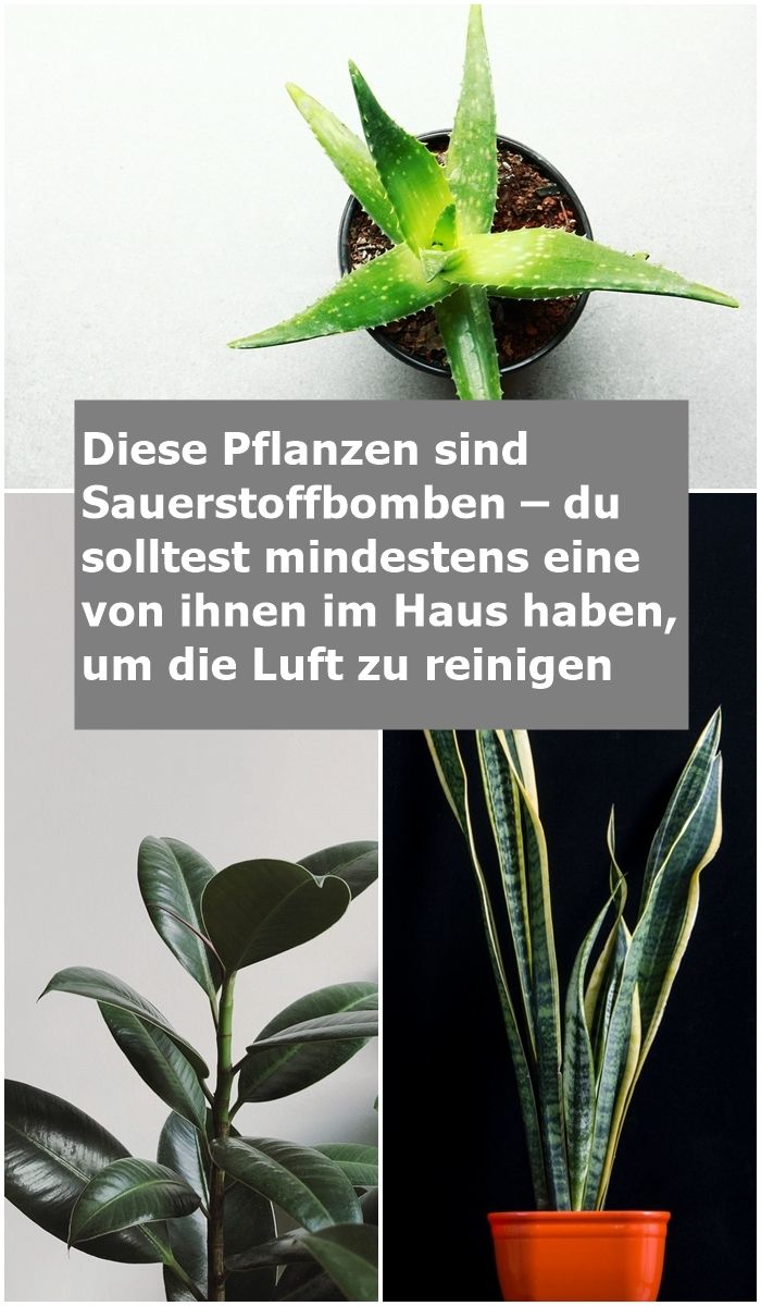 Diese Pflanzen sind Sauerstoffbomben – du solltest mindestens eine von ihnen i… – Sarah Loreen