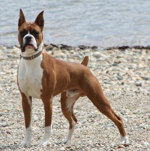 The World's 10 Most Dangerous Dog Breeds,Dangerous Dog Breeds,Most aggressive dogs in the world,Great Dane Dog,American Bandogge Dog,Dangerous dogs list