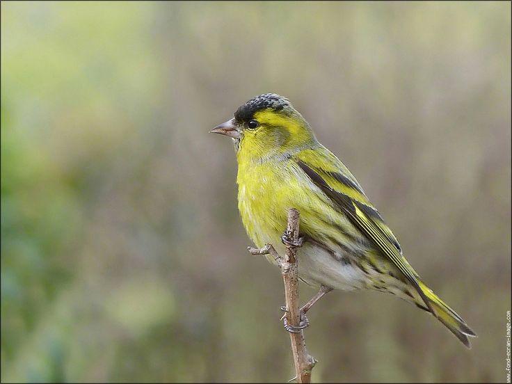 Oiseau tarin des aulnes tarin des aulnes 20110218