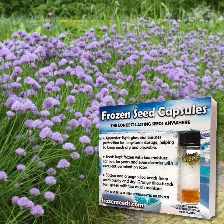 Grolau Chives Seeds (Allium schoenoprasum) + FREE Bonus 6 Variety Seed Pack - a $30 Value!