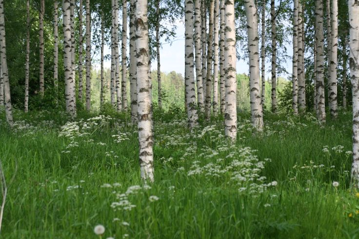 Strandhagen is surrounded by birches.