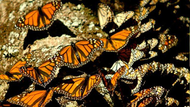 A finales de Octubre llega la Mariposa Monarca a Michoacán