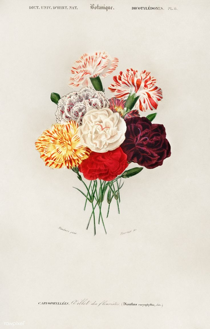 Carnation (Dianthus caryophyllus) illustrated by Charles Dessalines D' Orbigny (1806-1876). Digitally enhanced from our own 1892 edition of Dictionnaire Universel D'histoire Naturelle.